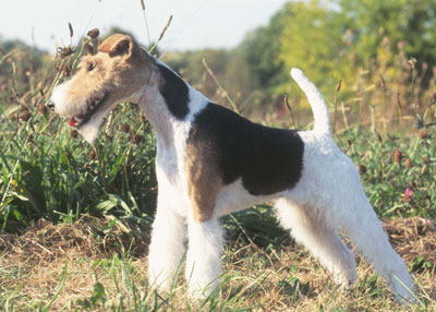 lg_wire_fox_terrier1