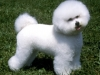 bichon_frise_new