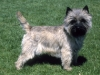 cairn_terrier_new