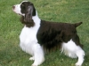 english_springer_spaniel_new