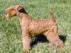 lakeland_terrier_new