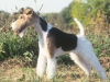 lg_wire_fox_terrier1