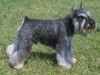 mini_schnauzer_new