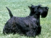 scottish_terrier_new